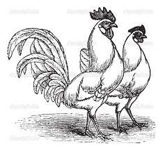κοτοπουλο κοκορι