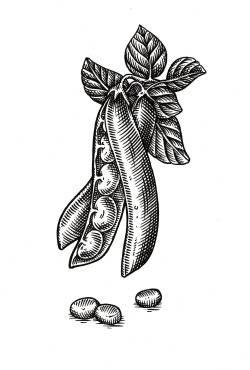 green bean 1