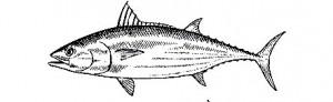 tuna-2