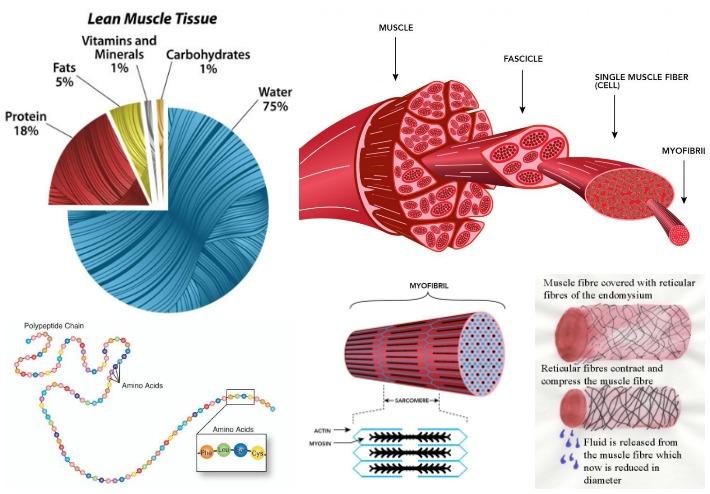 Φυσιολογία μοσχαρίσου κρέατος