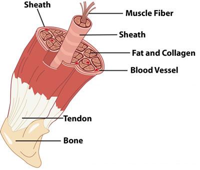 Εσωτερικό κόκκινου μυός βοδεινου