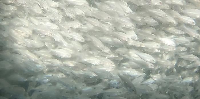 Μυστικά Ψαριού - Επεισόδιο 3 - Fish from Greece